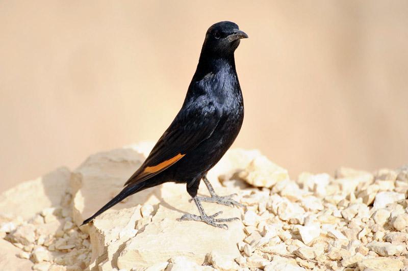 Tristram Starling